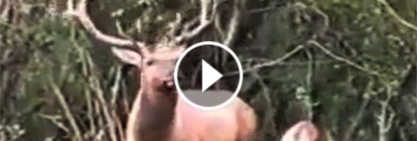 215487angry-deer