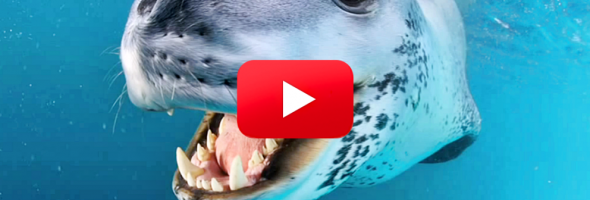 FriendlyLeopardSeal1_1200x627-992x558