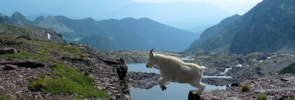 Goats-in-precarious-positions-11