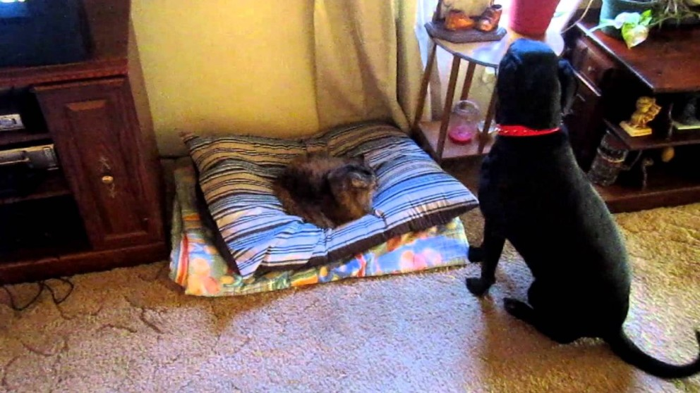 cat-controls-the-dog-bed