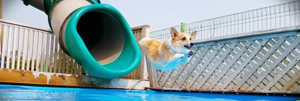 corgi_pool_party