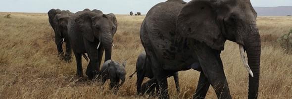 elephants-thumb-1