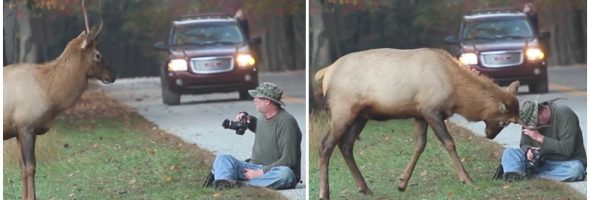 elk-headbutts-photographer