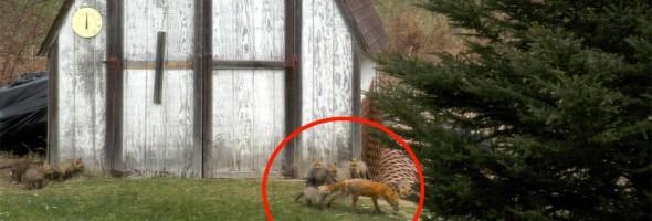 fox-family