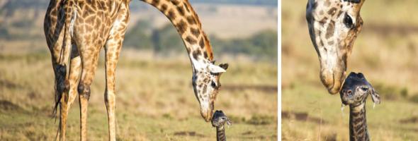 giraffebirth-wcth05_2-700x346