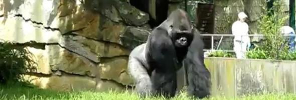 gorilla-pranks-zookeepers