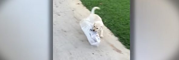 gracie_the_Labrador_tries_to_carry_newspaper_for_owner