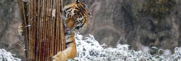 killing-tigers4