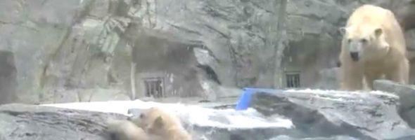 polar-bear-saves-baby-a
