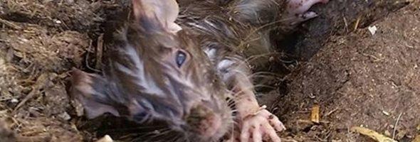 rat-rescue