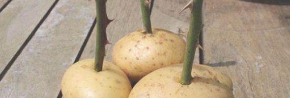 rose-potato-212124545g