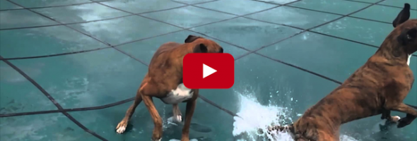 slip slide boxer dog pool cover video