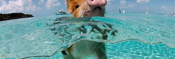 swimming_pigs_02