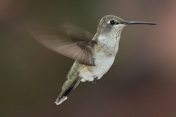 1594566097-1915-female-hummingbird