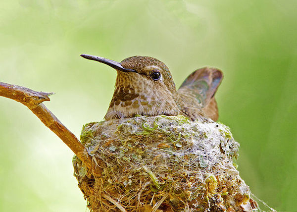 1594566097-2123-annas-hummingbird-nest