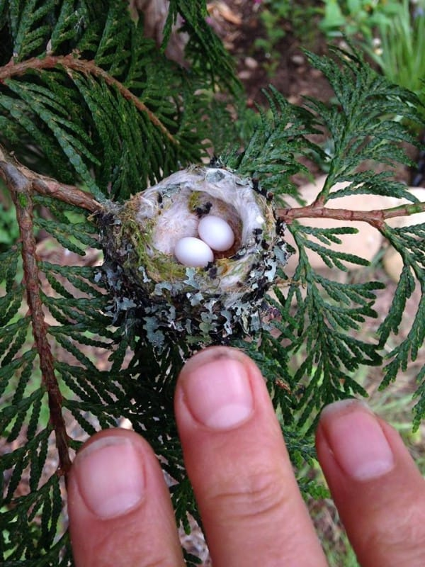 1594566097-7989-hummingbird-eggs