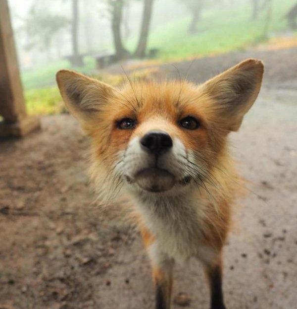 1606003563-3933-red-fox