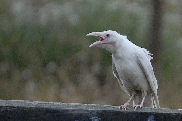 1614132053-3072-white-raven-1