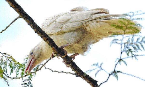1614132053-5677-white-raven-18