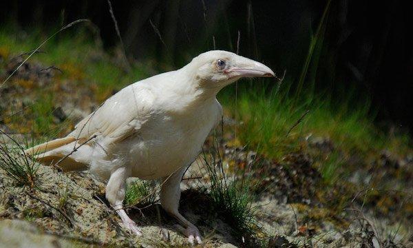 1614132053-8756-white-raven-4