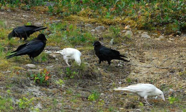 1614132054-5296-white-raven-7