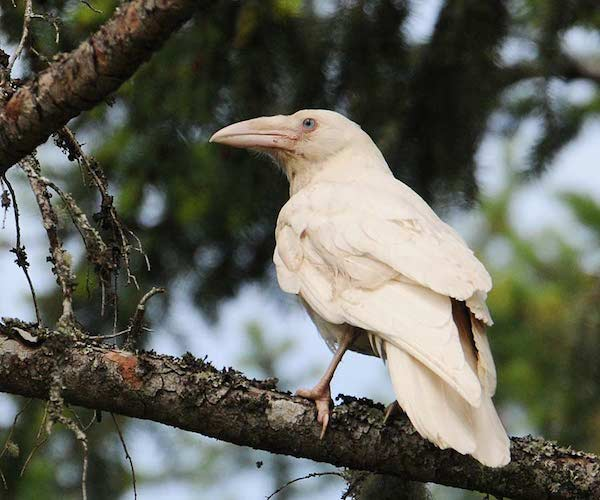 1614132054-6425-white-raven-10