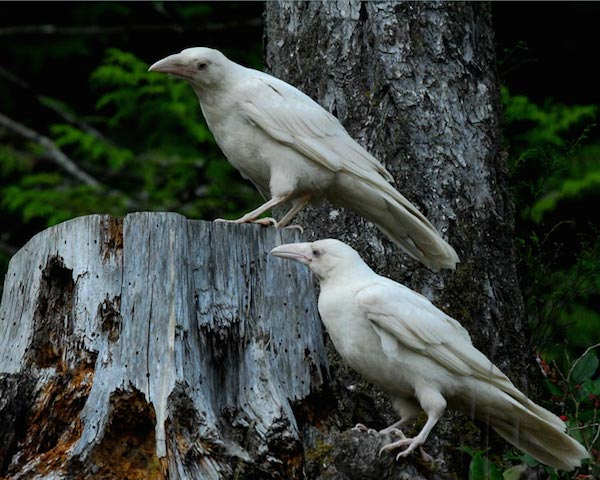 1614132054-6840-white-raven-8