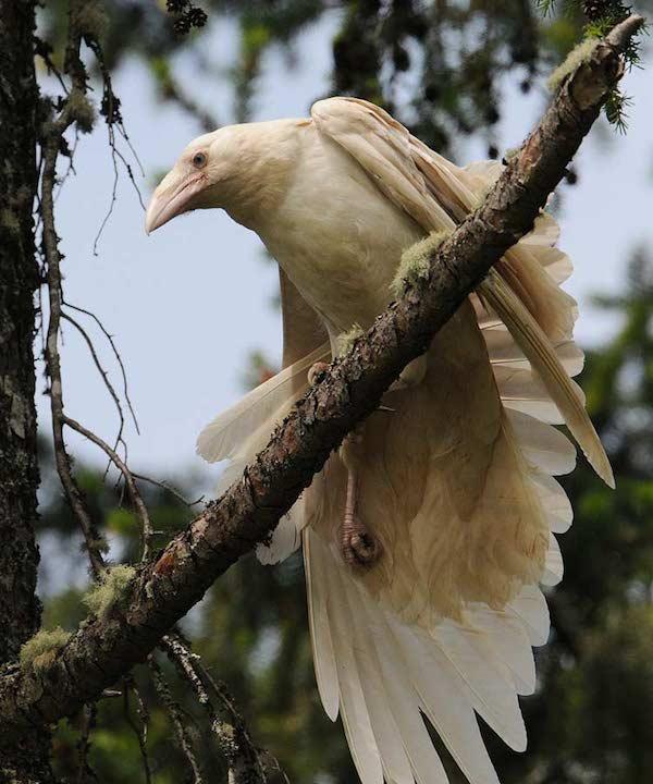 1614132054-9957-white-raven-11
