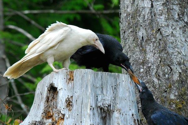 1614132055-5122-white-raven-12
