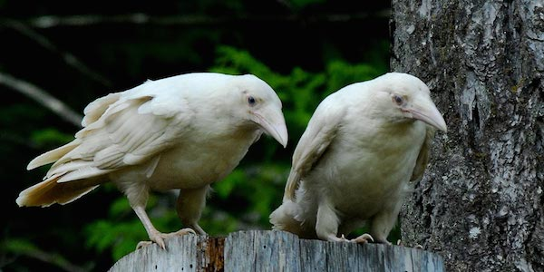 1614132055-5456-white-raven-16