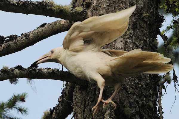 1614132056-2466-white-raven-13
