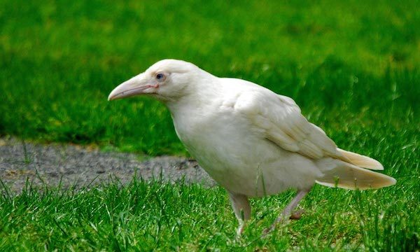 1614132056-3180-white-raven-2