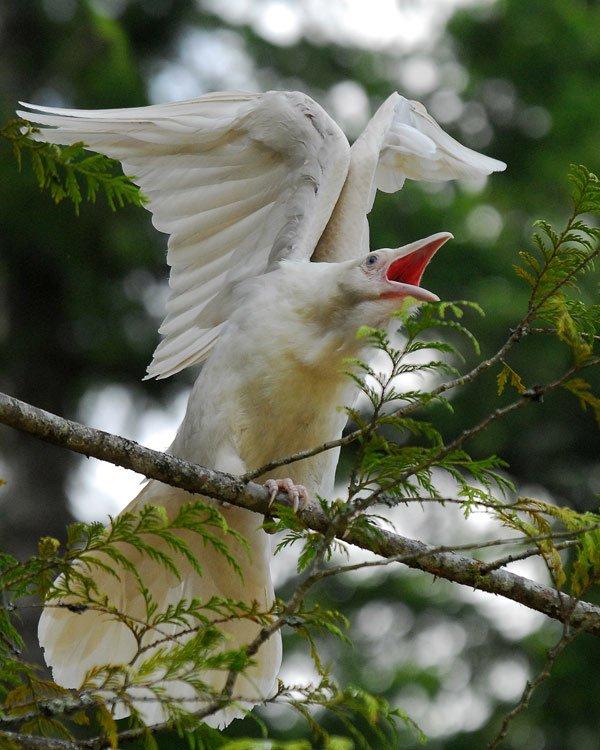 1614132056-7265-white-raven-15