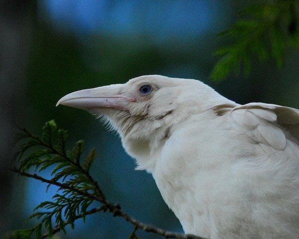 1614132056-7529-white-raven-14