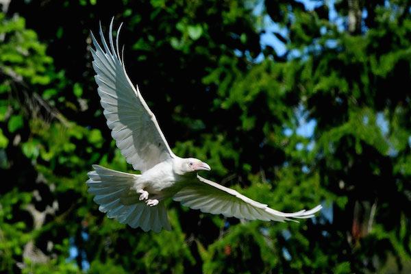 1614132056-7545-white-raven-17