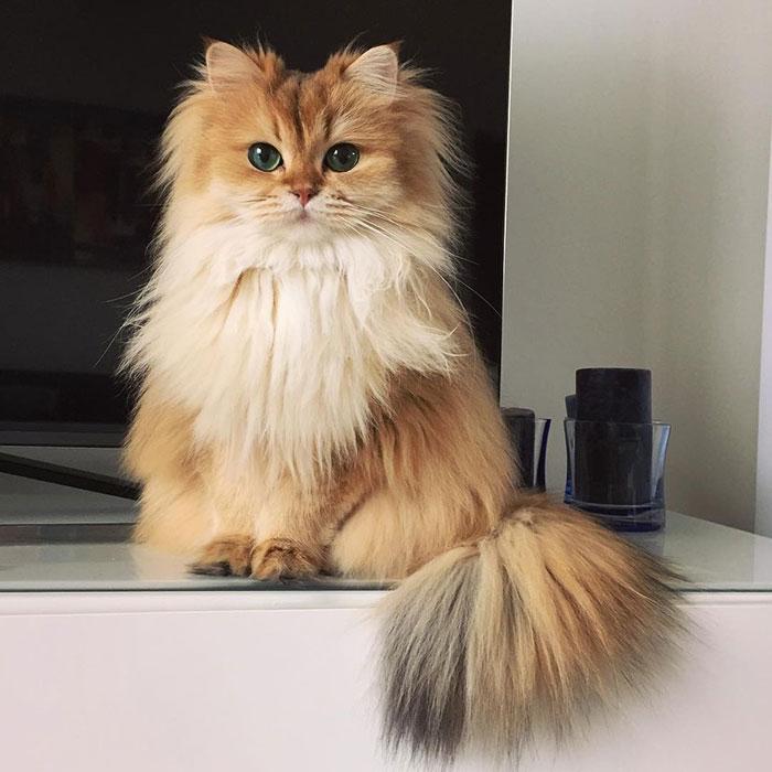 beautiful-fluffy-cat-british-longhair-22