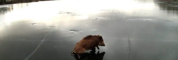 boar-on-ice