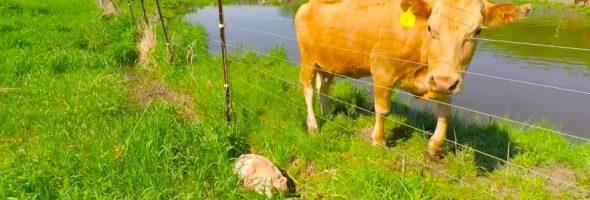 flo-cow-256456