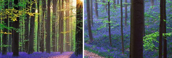 hallerbos-forest-belgium-1