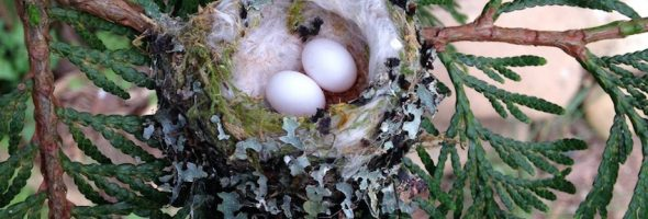 hummingbird-eggs-nest