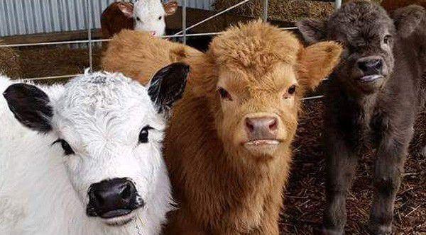 mini-cows-1