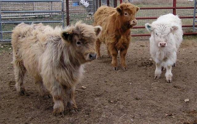 mini-cows-2