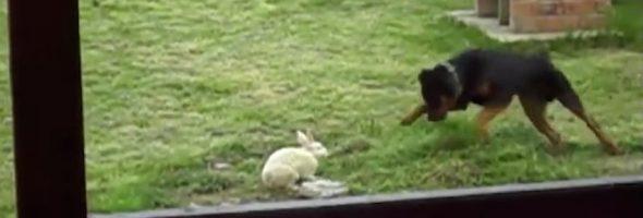 rabbit-rottie