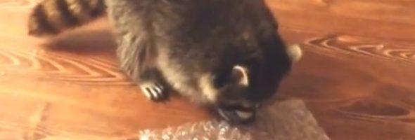 raccoon-bubble_large