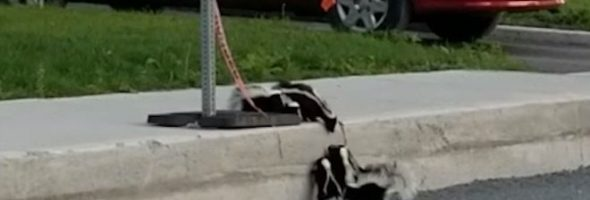skunks-curb